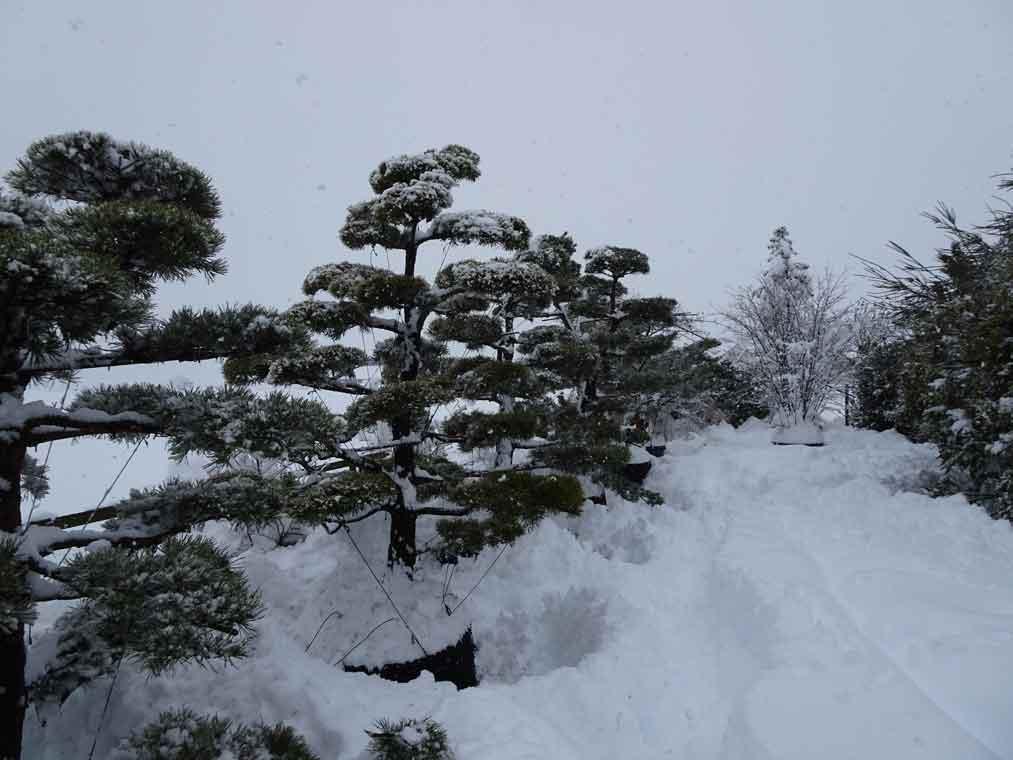 Bonsai von Schneelast befreien