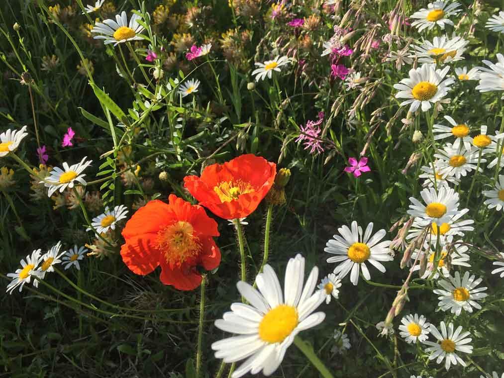 Wildblumenmatte