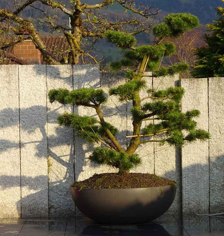 Bonsai als Augenweide
